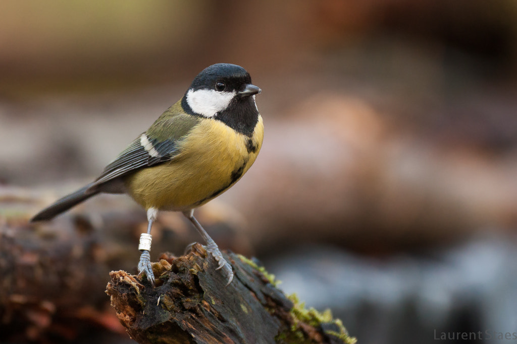 Photograph Great Tit I by Laurent Staes on 500px