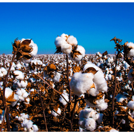 Cotton field, panhandle Texas, Canon POWERSHOT A630