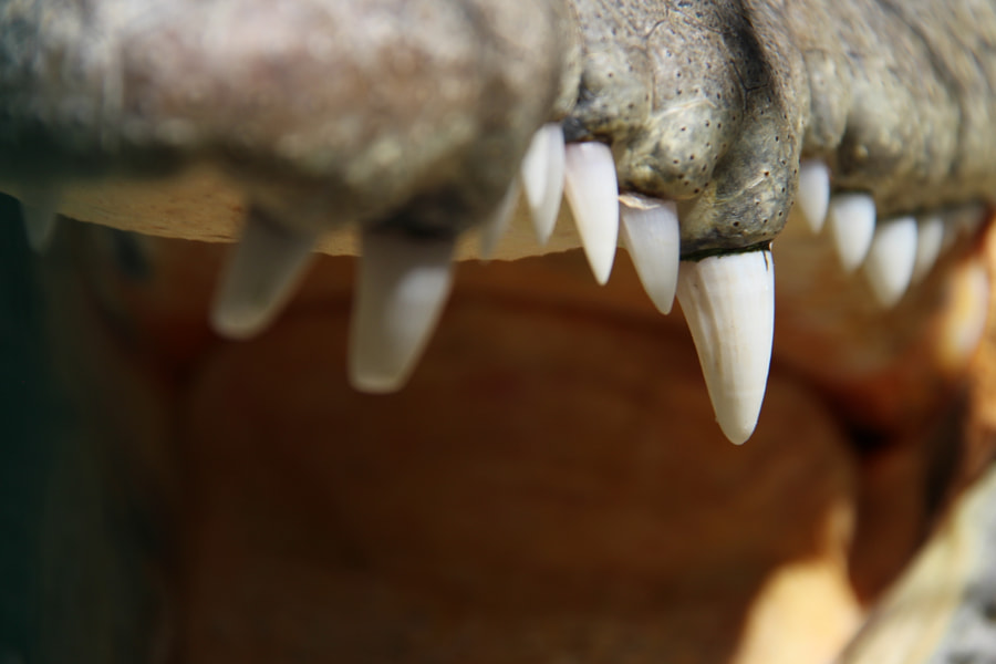 Teeth of crocodile by Félix Urbina on 500px.com