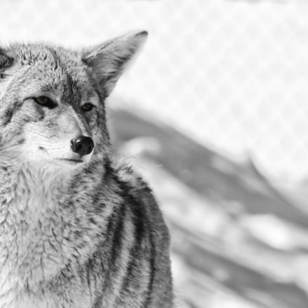 Coyote, Canon EOS REBEL T6S, Canon EF 75-300mm f/4-5.6 USM