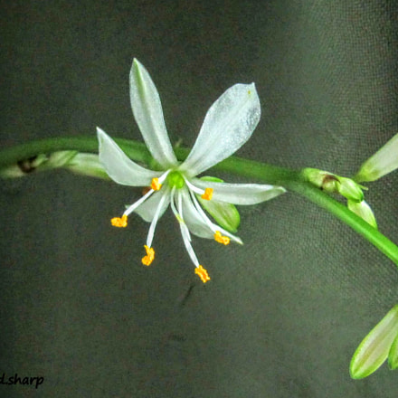 Spider plant bloom, Canon POWERSHOT SX210 IS