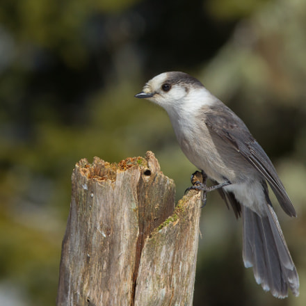 Grey Jay, Canon EOS-1D MARK IV, Canon EF 300mm f/2.8L IS