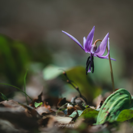 Japanese dog's tooth violet, Canon EOS-1D X, Canon EF 400mm f/2.8L IS II USM