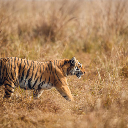 Male tiger from India, Canon EOS-1D X MARK II, Canon EF 500mm f/4L IS II USM