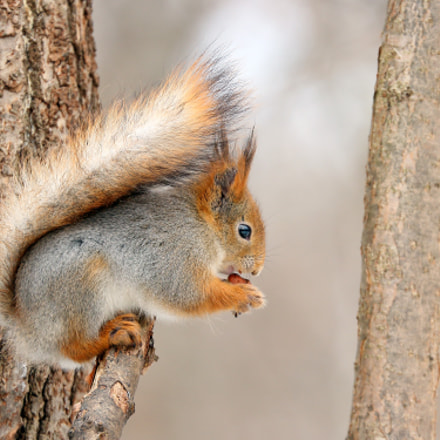 Squirrel, Canon EOS 100D, Canon EF 70-300mm f/4-5.6L IS USM