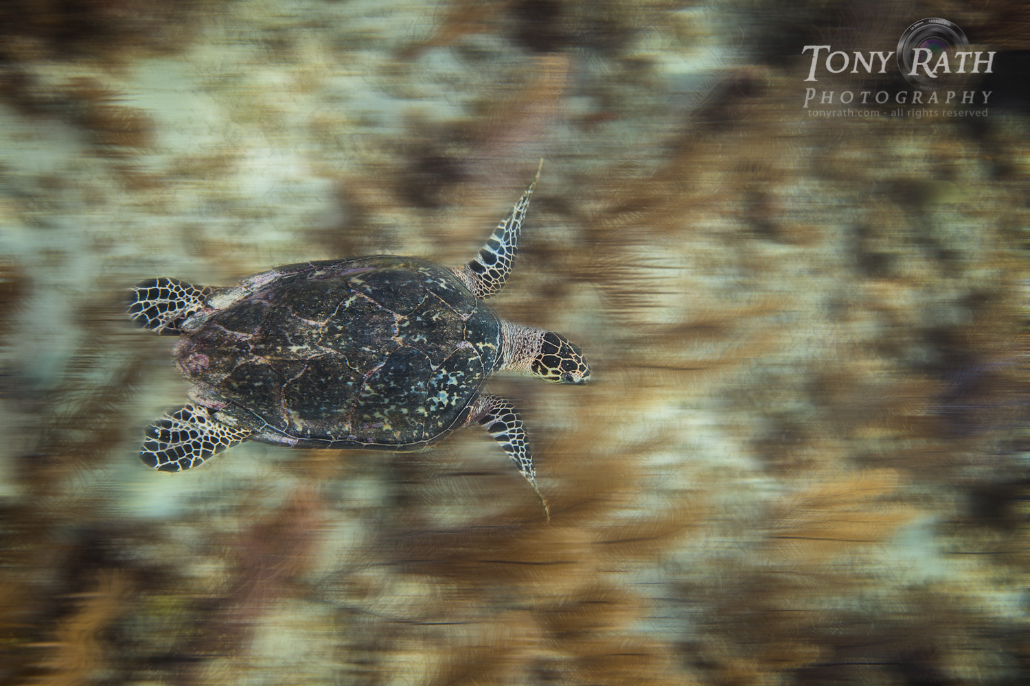 Photograph Hawksbill Turtle over Gorgonian Forest by Tony Rath on 500px