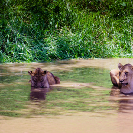 Lionesses bathing in the, Sony ILCA-77M2, Sony 70-300mm F4.5-5.6 G SSM (SAL70300G)