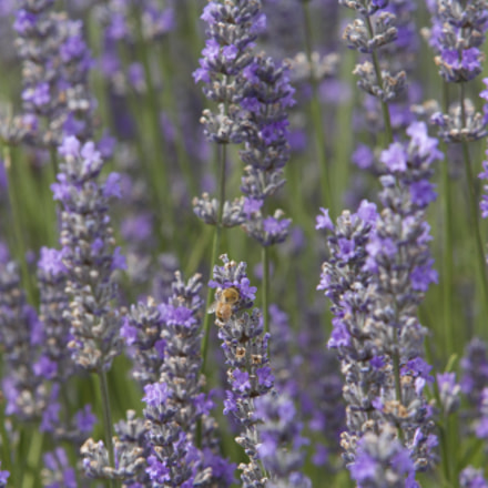 A bee Enjoying Lavender, Canon EOS 5D, Canon EF 70-200mm f/2.8L IS