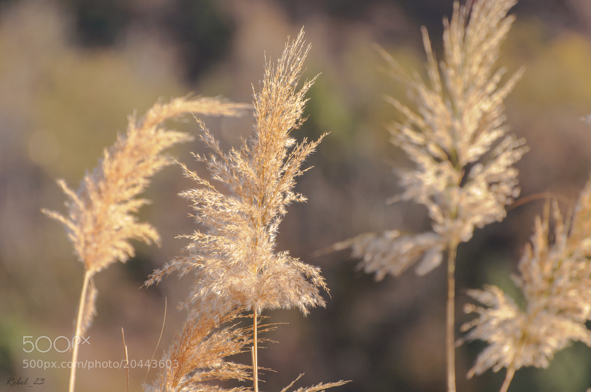 Photograph Reed of Autumn by Dockside Colors on 500px