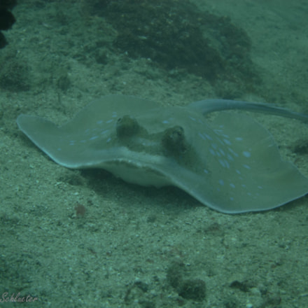 blue dotted stingray, Canon POWERSHOT S95