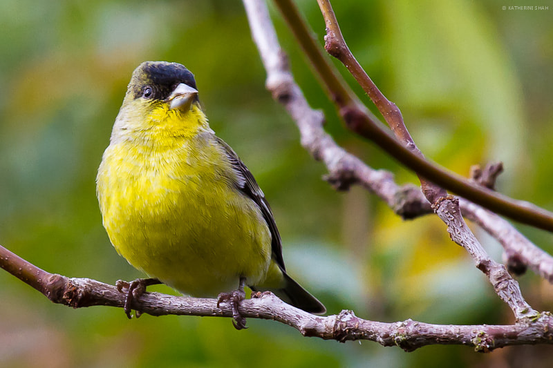 Photograph Lesser Goldfinch by Katherine Shah on 500px