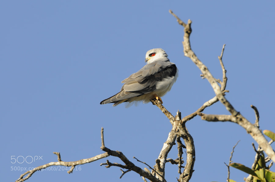 A Black-shouldered Kite rests on a snag in Kruger National Park.