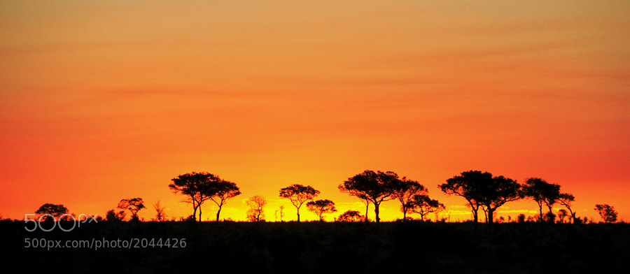 A sunset through the Acacia Trees, Kruger National Park, S.A.