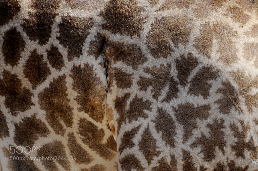 A close-up of a giraffe in Kruger National Park, S.A.