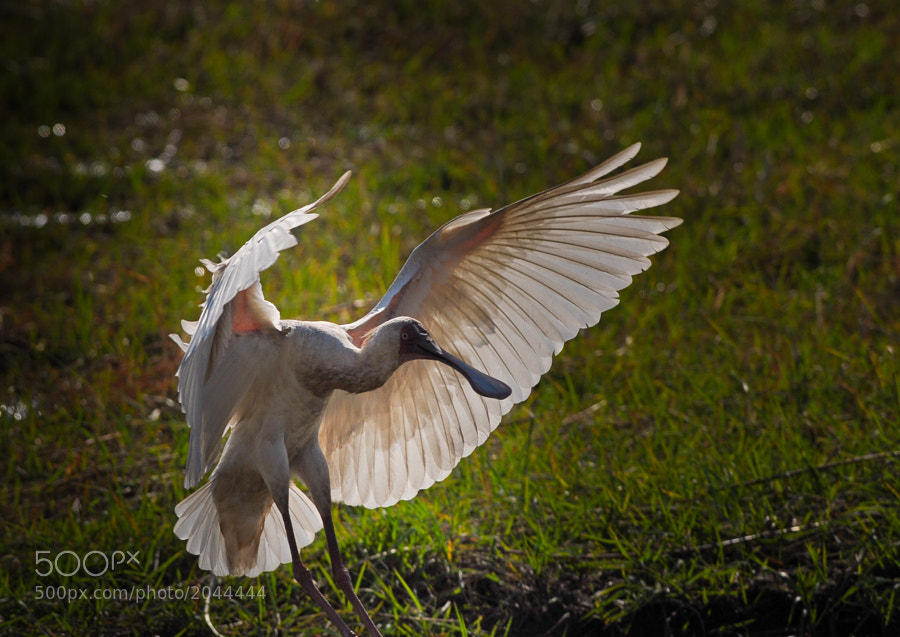An African Spoonbill comes in for a landing along the Chobe River at Chobe National Park, Botswana.