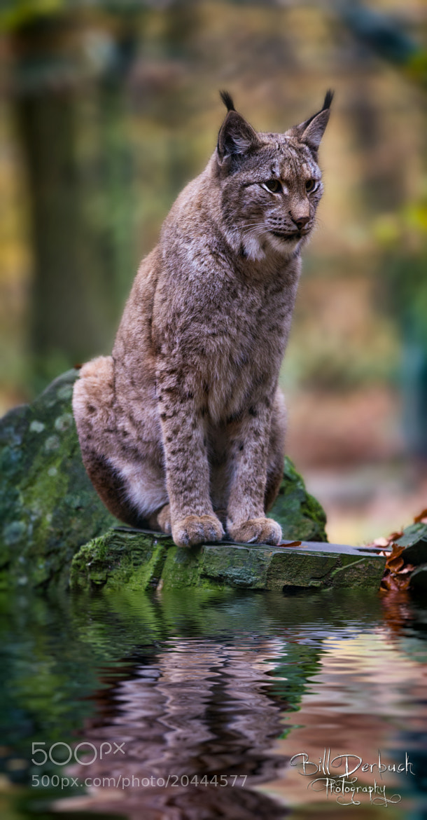 Photograph Lynx at water by Bill Derbuch on 500px