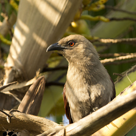 Brown Coucal (Centropus andamanensis), Canon EOS 60D, Canon EF 300mm f/2.8L IS