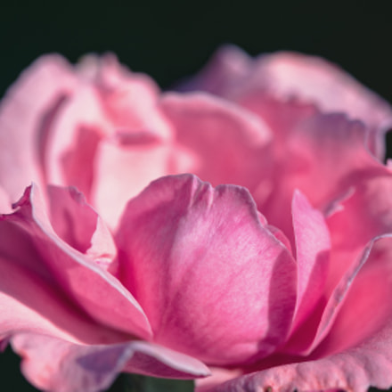 Rose, Canon EOS 6D, Canon EF 100mm f/2.8 Macro USM
