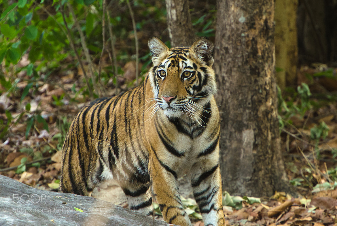 Photograph Royal Bengal Tiger by Rajesh Shah on 500px