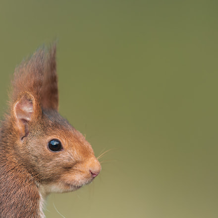 Red squirrel portrait, Canon EOS-1D X, Canon EF 500mm f/4L IS II USM