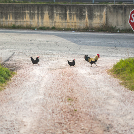 chickenroad, Canon EOS 6D, Canon EF 100mm f/2.8 Macro USM