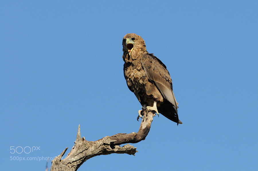 A Tawny Eagle calls from its perch on a snag in Kruger National Park, S.A.