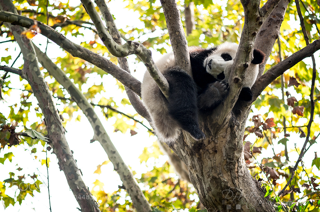 Photograph Young panda sleeing in a tree by Philippe Lejeanvre on 500px