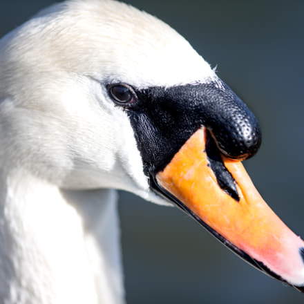 English Swan, Canon EOS-1D X, Canon EF 400mm f/2.8L IS II USM