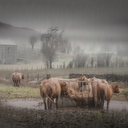 Lakeland Cows, Canon EOS 70D, Canon EF-S 15-85mm f/3.5-5.6 IS USM