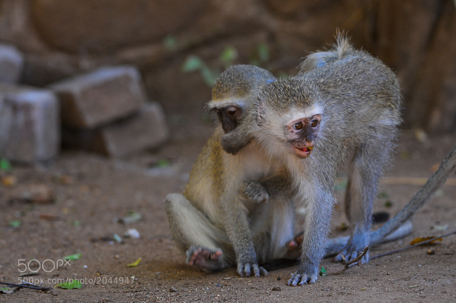 Two young monkeys play around in Kruger National Park, S.A.