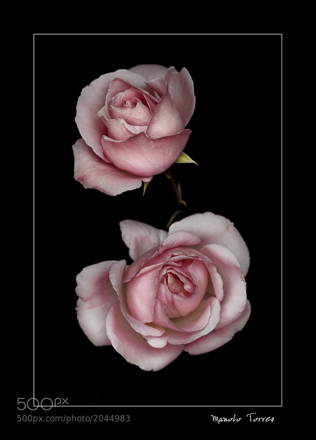 Photograph Two pink roses by Manolo Torres on 500px