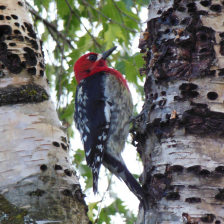 Red-breasted Sapsucker, Nikon COOLPIX S6300