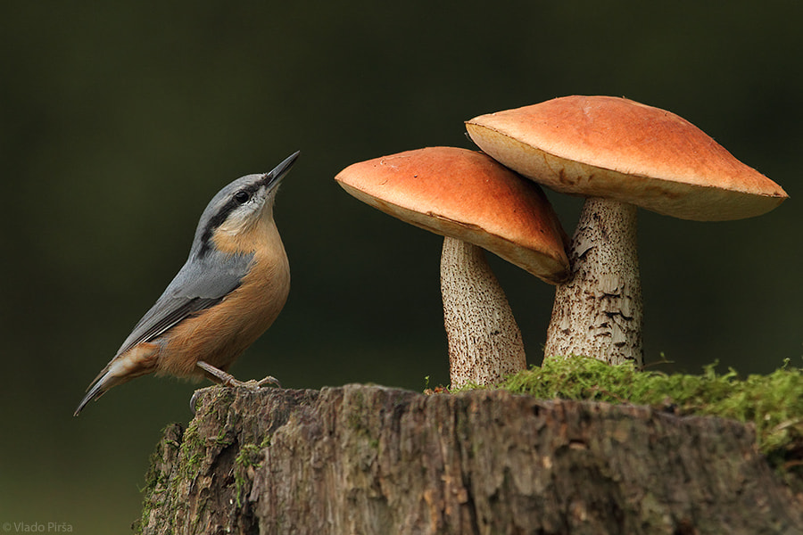 Photograph bird and two mushrooms by Vlado Pirša on 500px