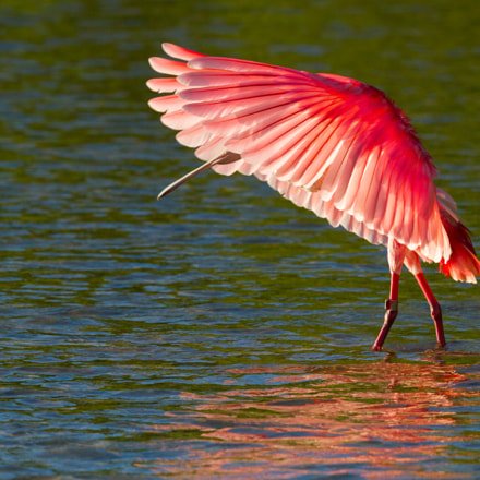 Roseate Spoonbill Artistry, Canon EOS 7D, Canon EF 500mm f/4L IS II USM