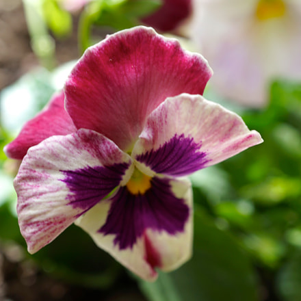 Pink Pansy, Sony ILCE-6000, Sony E 30mm F3.5