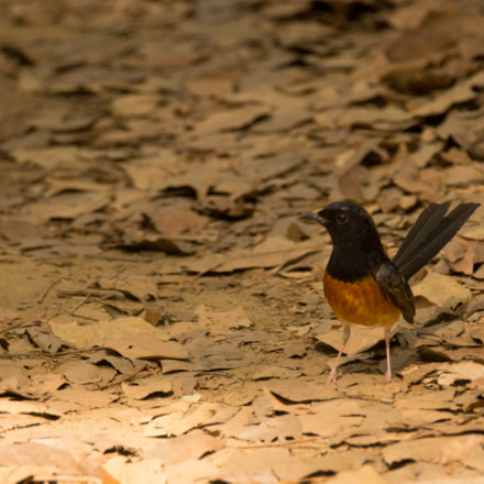 White Rumped Shama, Sony SLT-A65V, Tamron SP 150-600mm F5-6.3 Di USD