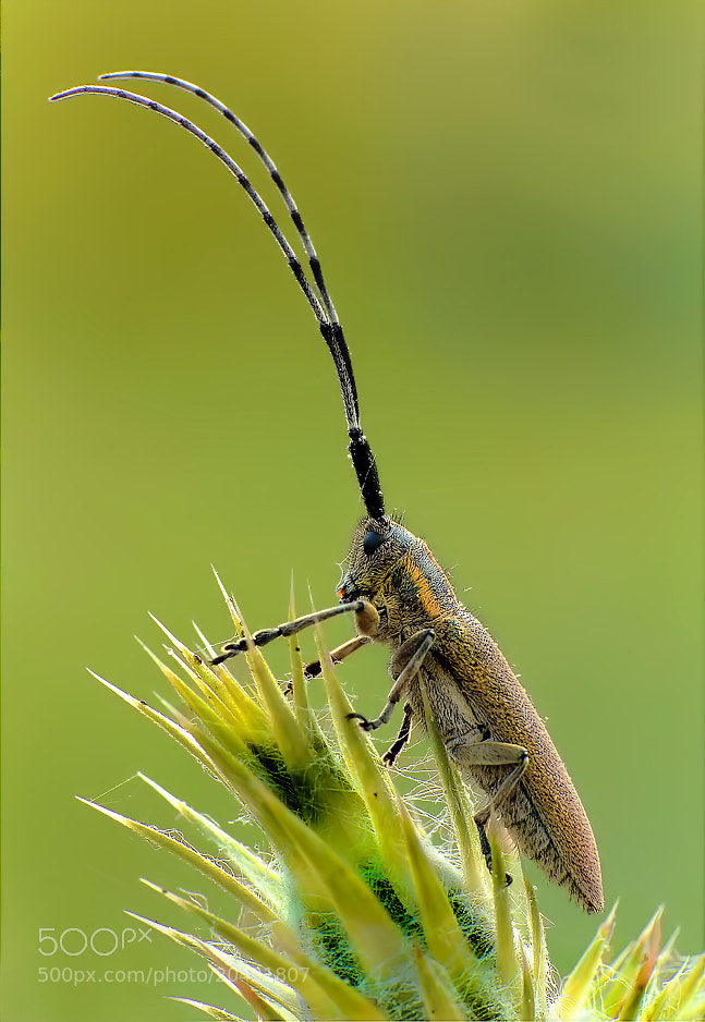 Photograph Agapanthia Cardui by Roberto Becucci on 500px