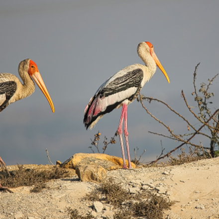 The painted stork, Canon EOS 5DS R, Sigma 150mm f/2.8 EX DG OS HSM APO Macro