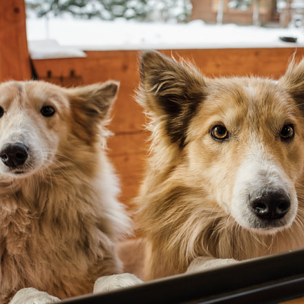 Two obedient dogs listening, Nikon COOLPIX A