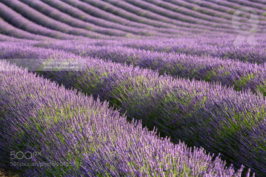 Photograph Can you smell the scent of lavender? (June 2012) by michele berti on 500px