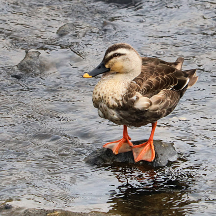 spot‐billed duck, Canon EOS KISS X8I, Canon EF-S 55-250mm f/4-5.6 IS STM