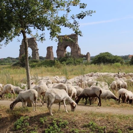 Sheeps in Rome, Canon EOS 1200D, Canon EF-S 18-55mm f/3.5-5.6 III