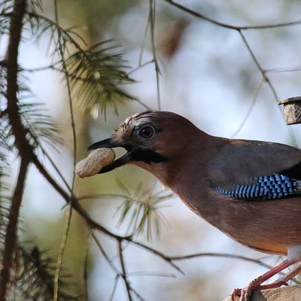 jay with peanut, Canon EOS 70D, Canon EF-S 55-250mm f/4-5.6 IS STM