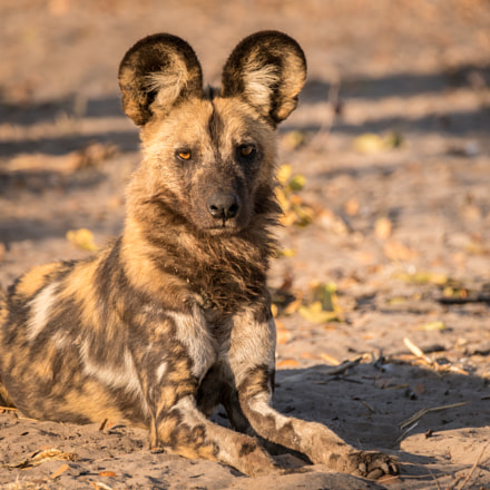 Wild Dog in Repose, Sony ILCE-7RM2, Tamron SP 150-600mm F5-6.3 Di USD