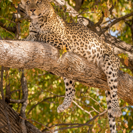 Leopard on Branch, Sony ILCE-7RM2, Tamron SP 150-600mm F5-6.3 Di USD