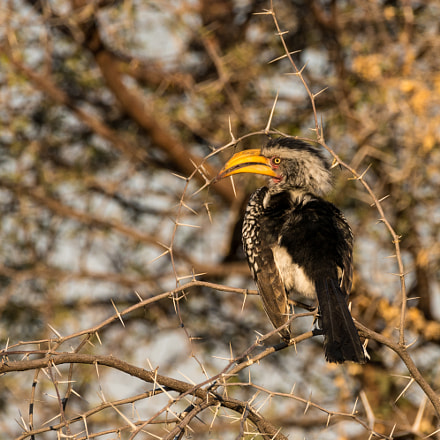 Hornbill and Acacia Thorns, Sony ILCE-7RM2, Tamron SP 150-600mm F5-6.3 Di USD