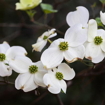 Dogwood Blooms, Canon EOS 80D, Canon EF-S 55-250mm f/4-5.6 IS STM