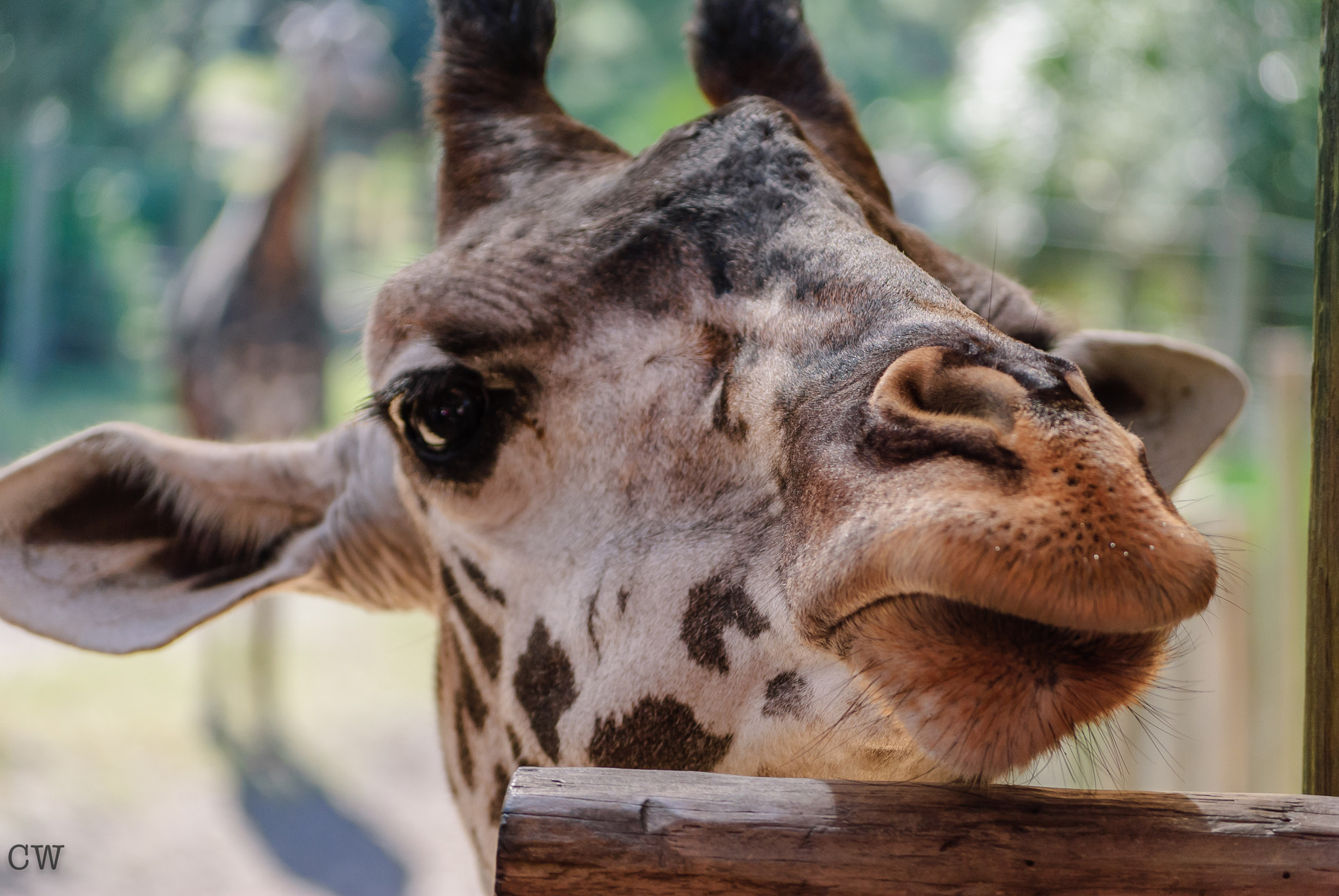Photograph Giraffe by Cara Whittaker on 500px