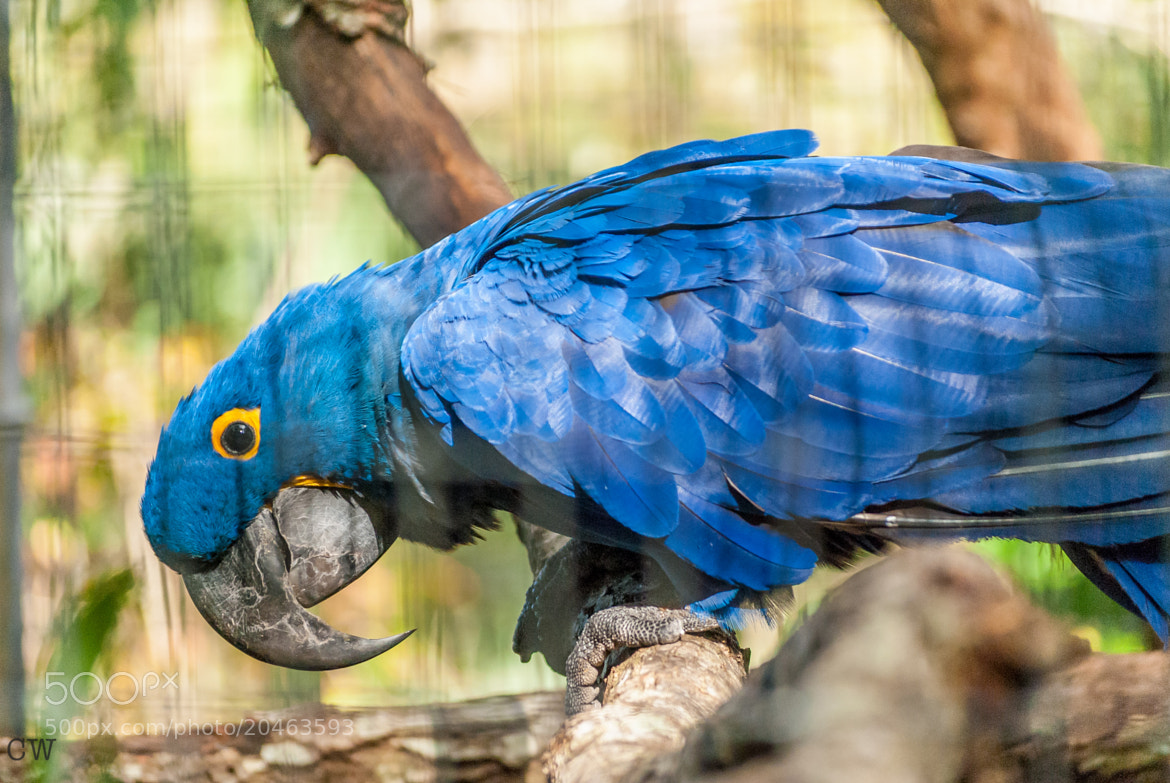 Photograph Hyacinth Macaw by Cara Whittaker on 500px