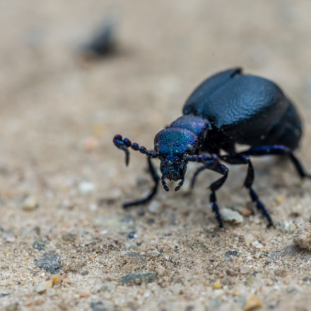 Stag-beetle on dirt lane, Nikon D610, AF Micro-Nikkor 105mm f/2.8
